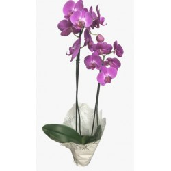 Orquídea Phalaenopsis com 2 hastes
