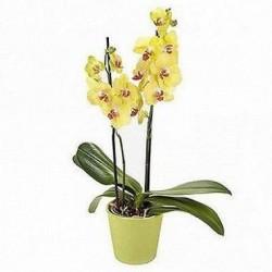 Orquídea Amarela com 2 Haste