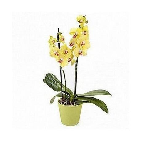 Orquídea Cascata Roxa com 2haste