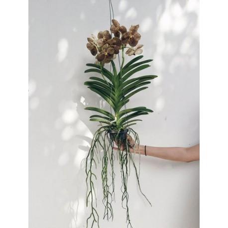 Orquídea Cascata com 2 Hastes